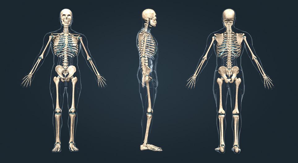 Az emberi csontváz részei